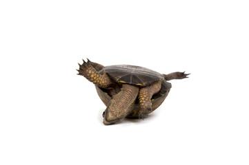 Stuck Turtle On Its Back